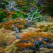 Fall colors of Southern beech along the banks of Lago Pehoe in Torres del Paine National Park, Patagonia, Chile.