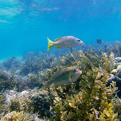 """""""Cocoroca-amarelo, Biquara-Vermelho, Cioba e Peixe-borboleta-listrado (Haemulon plumieri, Haemulon parra, Lutjanus jocu e Chaetodon striatus) fotografado na Ilha de Coroa Vermelha, que faz parte do Arquipélago de Abrolhos, na Bahia -  Sudeste do Brasil. Oceano Atlântico. Registro feito em 2016.<br /> <br /> <br /> <br /> ENGLISH: White grunt, Sailor's Choice, Dog snapper and banded butterflyfish photographed in """"""""Coroa Vermelha"""""""" Island, which is part of the Abrolhos Archipelago in Bahia - Brazil. Atlântic Ocean. Picture made in 2016."""""""