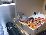 Who ate all the pies? Greedy possum overwhelmed by pastries after sneaking into bakery (but web sceptics are crying foul)<br /> <br /> Could this be the world's cleverest possum?<br /> Skeptics are crying Photoshop. <br /> But to the innocent eye this appears to be exactly as it claims - a greedy rodent in a bakery. <br /> Images are spreading round the internet of this zoned-out animal, as it slumps in a sugar-induced slumber.<br /> Believed to have been taken in Australia, the photograph appears to show the aftermath of a pastry binge, courtesy of a possum with eyes bigger than its stomach.<br /> The unwitting creature has devoured at least a quarter of the tray of jammy goods upon which it has made its bed.<br /> It is quite literally caught red handed, slumped with tell-tale smears of jelly covering its paws, a suspicious looking hole visible in the side of the box.<br /> And as it sprawls across the remaining pies it seems like not a case of it but when the rodent will get around to finishing off its feast. <br /> But all may not be quite what it seems, according to angry bloggers who claim the whole set up is bogus.<br /> The photo first went live on Reddit, claiming to have been taken at Sydney's Taronga Zoo but rumours quickly spread of a New York-based scam.<br /> These have since been disbanded owing to differences in appearance between American and Australian possums but the mystery still remains.<br /> Is this or is this not a possum in a bakery?<br /> ©Exclusivepix