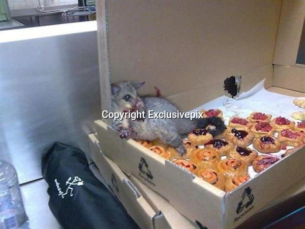 Who ate all the pies? Greedy possum overwhelmed by pastries after sneaking into bakery (but web sceptics are crying foul)<br /> <br /> Could this be the world's cleverest possum?<br /> Skeptics are crying Photoshop.<br /> But to the innocent eye this appears to be exactly as it claims - a greedy rodent in a bakery. <br /> Images are spreading round the internet of this zoned-out animal, as it slumps in a sugar-induced slumber.<br /> Believed to have been taken in Australia, the photograph appears to show the aftermath of a pastry binge, courtesy of a possum with eyes bigger than its stomach.<br /> The unwitting creature has devoured at least a quarter of the tray of jammy goods upon which it has made its bed.<br /> It is quite literally caught red handed, slumped with tell-tale smears of jelly covering its paws, a suspicious looking hole visible in the side of the box.<br /> And as it sprawls across the remaining pies it seems like not a case of it but when the rodent will get around to finishing off its feast.<br /> But all may not be quite what it seems, according to angry bloggers who claim the whole set up is bogus.<br /> The photo first went live on Reddit, claiming to have been taken at Sydney's Taronga Zoo but rumours quickly spread of a New York-based scam.<br /> These have since been disbanded owing to differences in appearance between American and Australian possums but the mystery still remains.<br /> Is this or is this not a possum in a bakery?<br /> ©Exclusivepix
