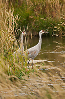 A pair of Sandhill Crane pauses along a small mountain creek during a small rain shower.