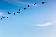 Skein of Canada Geese following the leader of the flock in flight formation in sky over Kinderdijk in Holland, The Netherlands
