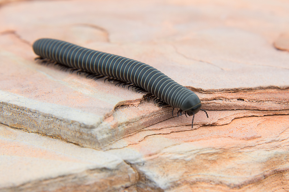 Unidentified giant black millipede (probably in the family Atopetholidae) encountered by sheer accident on a chilly spring morning in the Big Bend area of Western Texas as I was winding my way up toward the Chisos Mountains.