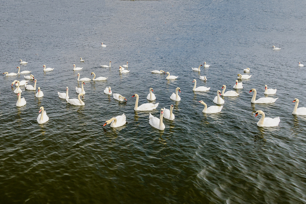 Swans, Hayground Cove, Mecox Bay,  Water Mill, Long Island, NY