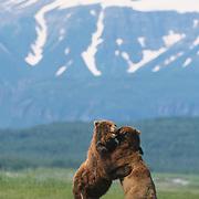 Alaskan Brown Bear (Ursus middendorffi) males fighting. Katmai National Park, Alaska