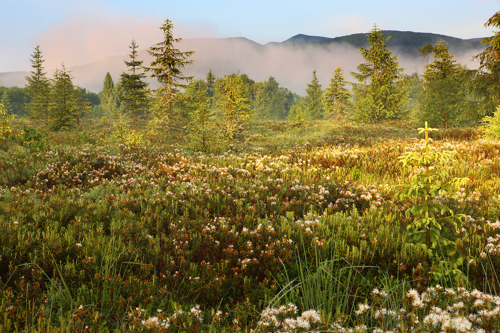 Peat bog with ledum crystaltea (Ledum palustre) in Bieszczady National Park, Poland