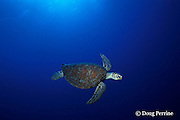 green sea turtle, Chelonia mydas, Pixie Pinnacle, Ribbon Reefs, northern Great Barrier Reef, Australia ( Coral Sea, Western Pacific Ocean )