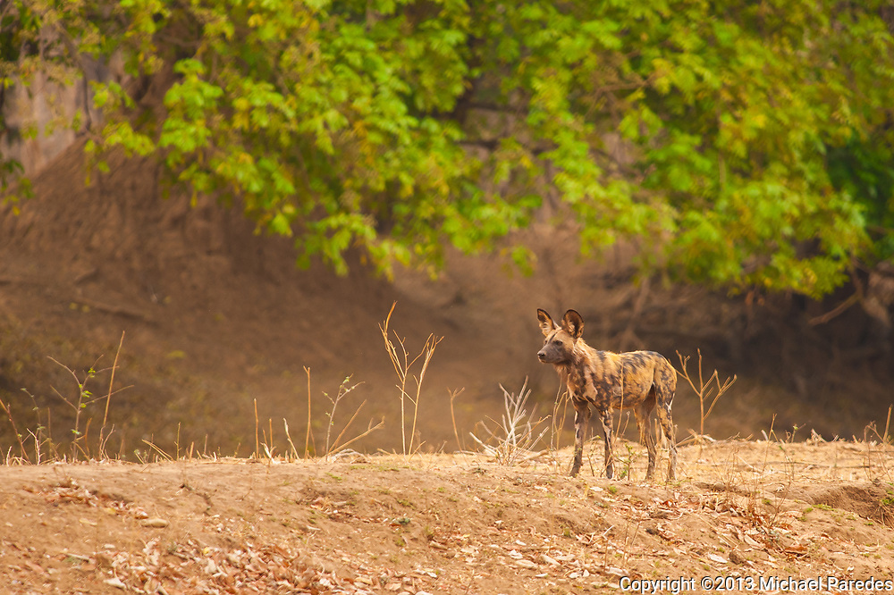"*50% off all proceeds of photos of wild dogs will go to the Painted Dog Conservation project in Zimbabwe (wild dogs are also called painted dogs). For more information, click on ""50% Charity Pledge"" on the homepage, and thanks for supporting wild dogs!"