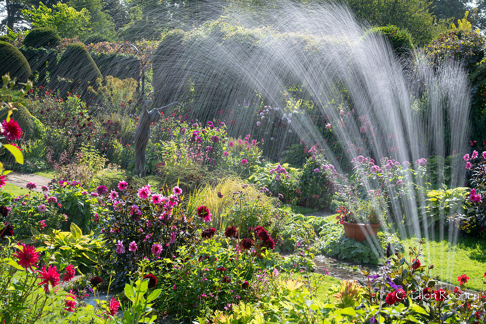 Sprinkler water over dahlias and a statue in the sunken garden at Chenies Manor Garden, Rickmansworth, Buckinghamshire, UK
