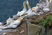 Pair of Northern Gannets - Morus bassanus with their beaks grabbing another Gannet beak