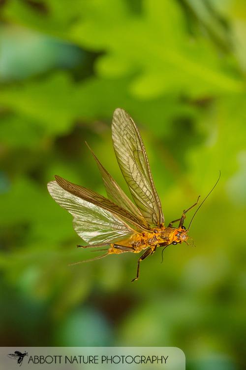 Common Stone (Acroneuria abnormis) female flying<br /> United States: Alabama: Tuscaloosa Co.<br /> Tulip Tree Springs off Echola Rd.; Elrod<br /> 29-Apr-2017<br /> J.C. Abbott #2942
