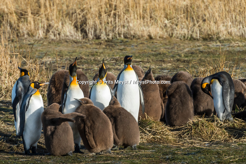 Porvenir, Tierra del Fuego, Chile, June 2017. The only King Penguin reserve in Chile. The windswept pampas of Southern Patagonia and Tierra del Fuego are truly among the one of the world's last frontiers. It was settled by European sheep farmers who have been carving out an existence in this barren land since the 19th century. In a race to control access to 'the end of the world' the Chilean government built a spectacular road, which now functions as the access to some of the last unexplored wildernesses on earth. Welcome to the Darwin Range, Karukinka National Park. Hiking, horseback riding and fly fishing awaits those who are ready for Adventure. Photo by Frits Meyst / MeystPhoto.com