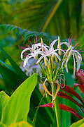 Spider lily flower, Botanical garden, Waipio Valley, Big Island of Hawaii