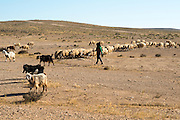 Israel, Negev desert, Bedouin shepherd and her herd sheep