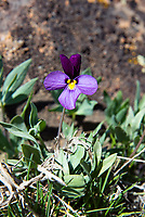 Also known as the Rainier violet and desert pansy, the sagebrush violet is a stunningly beautiful member of the viola family that is only found in the dry sagebrush deserts of Oregon and Washington State in the early spring where melting snow leaves moist patches in the soil. This one was found growing on the hilltops just outside of Yakima, Washington in mid-March.