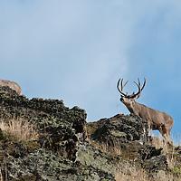 mule deer buck checking receptive doe during rut
