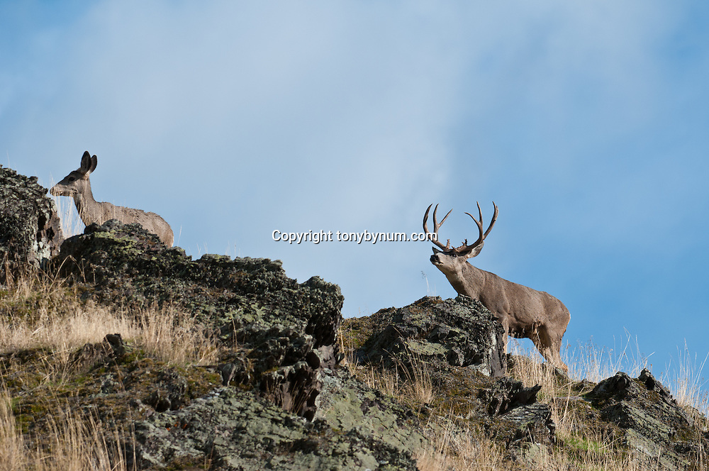 mule deer buck checking receptive doe during rut