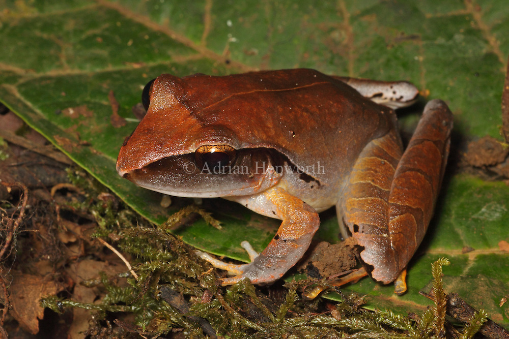 Mimicking Rain Frog (Eleutherodactylus mimus) at La Selva Biological Station, Costa Rica. <br />