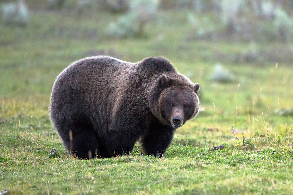 Grizzly near Gardiner, Montana.