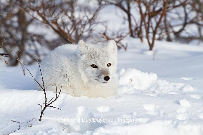 01863-01103 Arctic Fox (Alopex lagopus) in snow in winter, Churchill Wildlife Management Area, Churchill, MB Canada