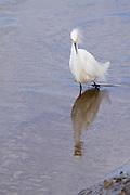 Snowy Egret fishing.<br /> -Savannah, GA