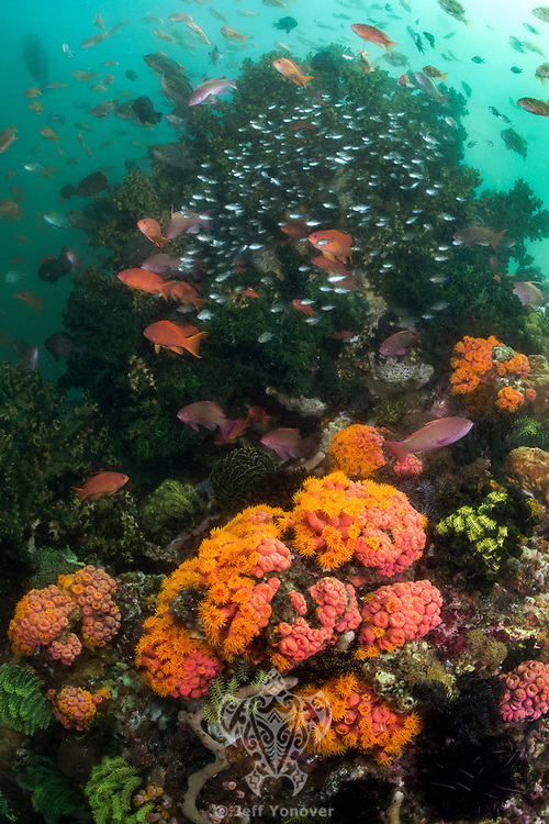 Profusion of Anthias and Cup Corals in murky water<br /> <br /> Shot in Indonesia