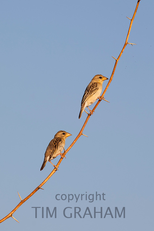 Pair of Weavers birds on tree branch at Chattra Sagar nature reserve at Nimaj, Rajasthan, Northern India