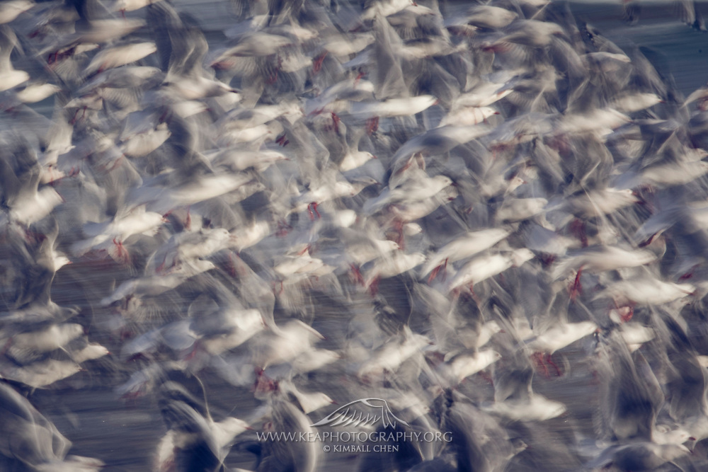 A long exposure of a flock of sea gulls in flight, along the coastline of the Catlins, New Zealand