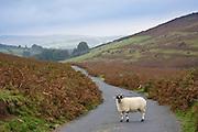 Blackfaced sheep in a country lane, Dartmoor, Devon,  United Kingdom