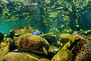 Cichlids in the shallows of the Lake Malawi National Park, Cape Maclear, Lake Malawi, Malawi.