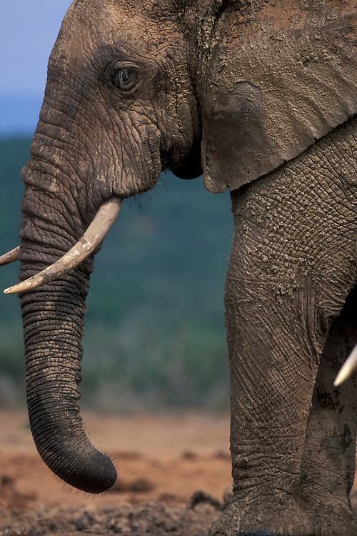 South Africa, Addo Elephant National Park, Bull Elephant (Loxodonta africana) by water hole