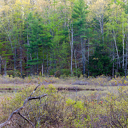 Trees on the edge of Spruce Hole Bog in Durham, New Hampshire. National Natural Landmark.