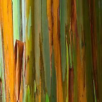 Rainbow eucalyptus tree, Maui.
