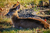 Cold young doe resting in the afternoon sun. Image taken with a Fuji X-T2 camera and 100-400 mm OIS lens (ISO 200, 400 mm, f/5.6, 1/280 sec).