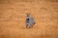 One zebra standing in a golden grassland  in California looking forward.
