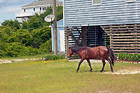 NC01414-00...NORTH CAROLINA - One of the semi-wild Banker horses walking through an issolated beach side community on the Outer Banks, north of Corrola.