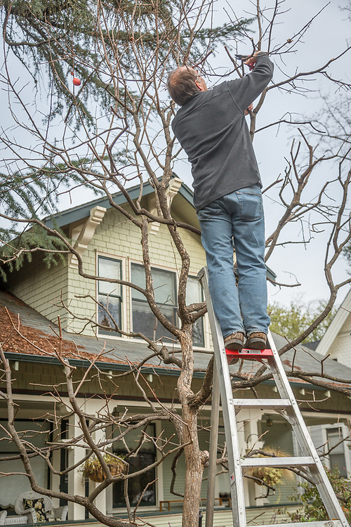 """I believe this is an important tree in our front yard.  I prune it because it makes our house look good.""  -Stephan Hawks works on his persimmon tree on Cedar Street in Calistoga."