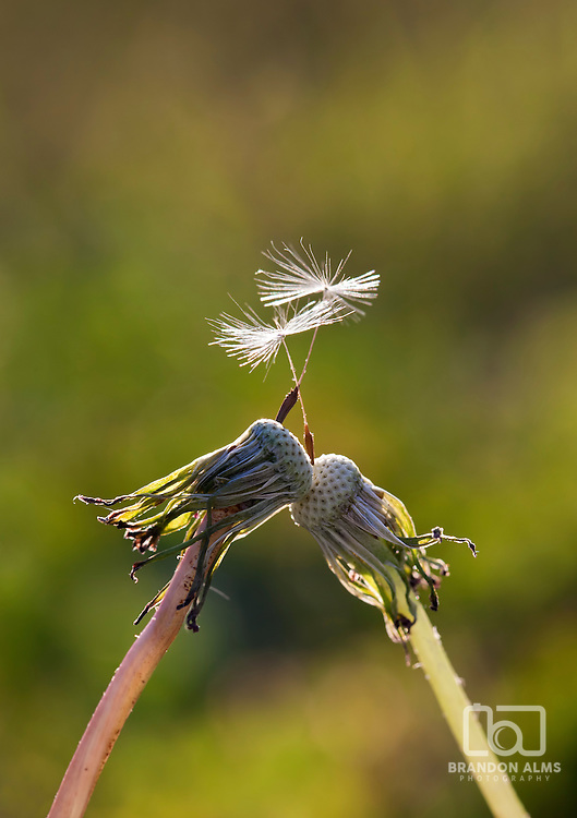 A macro shot of two dandelions come together in the sunlight each holding their last seeds.