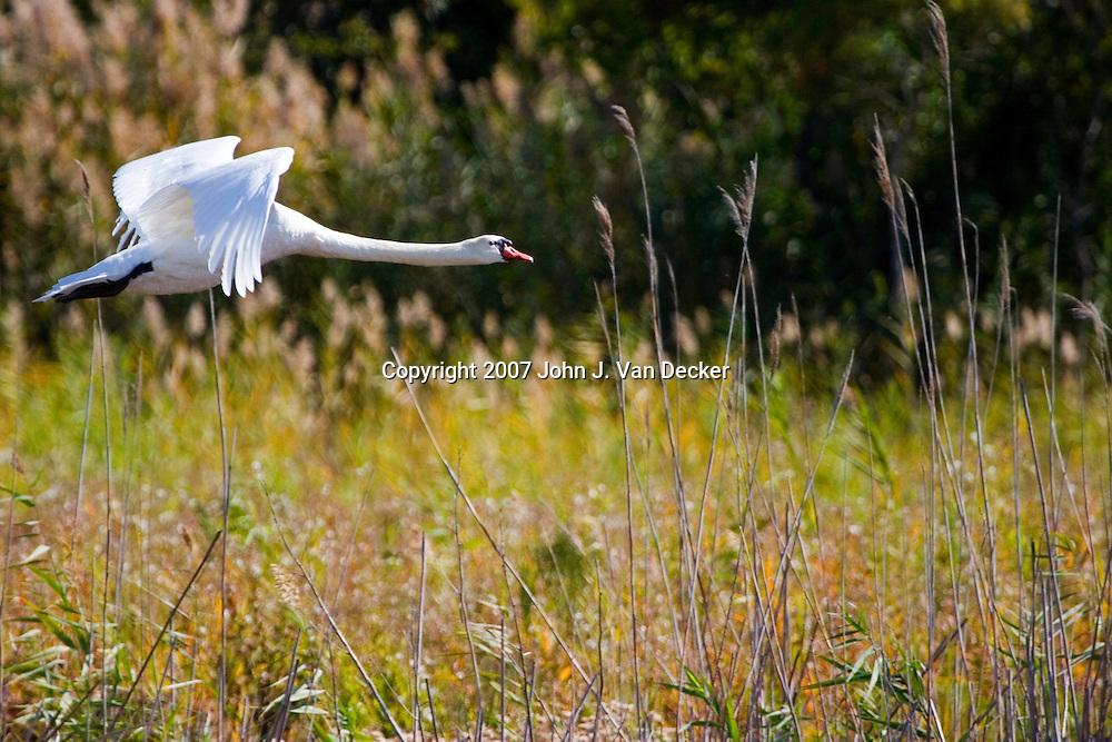 Mute Swan, Cape May, NJ, USA