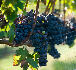 Bunch of ripe grapes on a vine