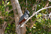 Giant Kingfisher perched on branch, St Lucia Wetlands, South Africa.