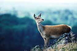 Red deer hind (Cervus elaphus), Bradgate Park, Leicestershire, England, UK.<br /> Photo &copy; Ed Maynard<br /> +44 (0) 7976 239804<br /> www.edmaynard.com<br /> mail@edmaynard.com