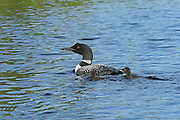 Great northern or common loon Gavia immer with chick on CAssels Lake<br /> Temagami<br /> Ontario<br /> Canada