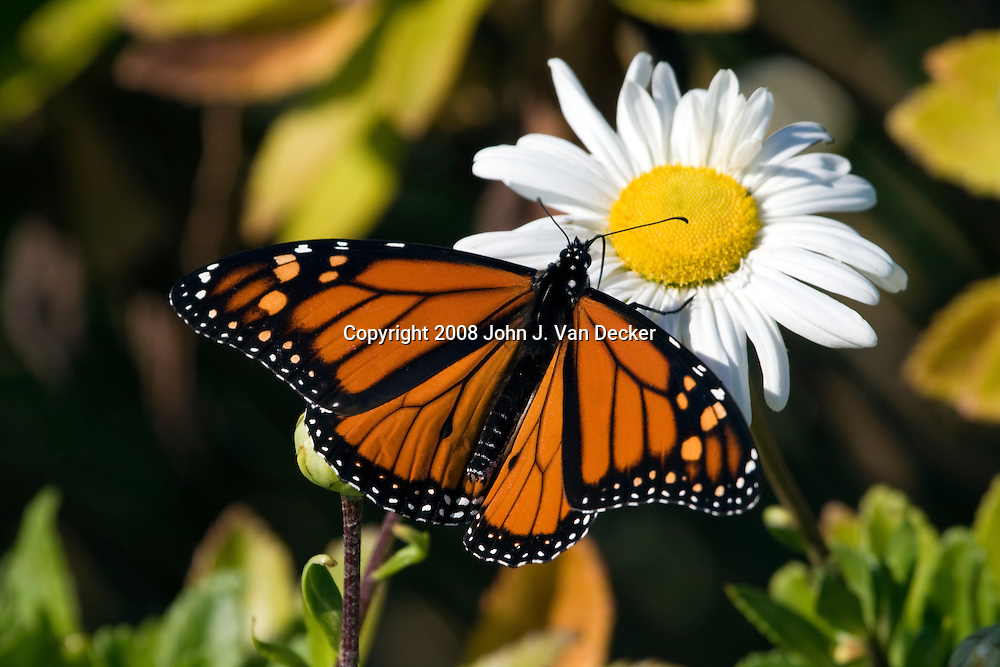 Monarch Butterfly feeding on a daisy....A male Monarch butterfly as evidenced by the black spot on a vein of the mid-hindwing