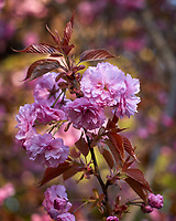 Pink Plum Tree Flowers. Image taken with a Leica CL camera and 60 mm f/2.8 lens (ISO 100, 60 mm, f/3.2, 1/160 sec)