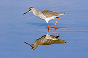 Common Redshank (Tringa totanus), Wading in a pond with reflection, Photographed in Israel in October