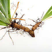 Vegatative reproduction, Roots or rhizomes of an iris plant, showing a part tht is ready to break off and become a new plant