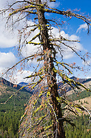 Ponderosa Pine snag with lichen growing on its branches.  Near Sun Mountain Lodge, Washington, USA.