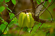 Star fruit (Averrhoa carambola) ripening on a carambola tree. This plant is native to Indonesia, India and Sri Lanka and is found throughout southeast and eastern Asia. It is also cultivated in other countries. Photographed in Seychelles
