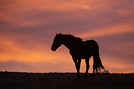 The band stallion, Hernando, stands atop Plenty Coups Ridge as the sun begins to set. Always elegant, he gazes towards his two mares, Phoenix and Warbonnet who nicker at him to follow.